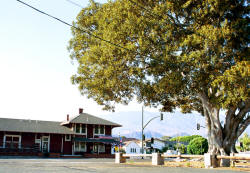Historic Depot and Fig Tree